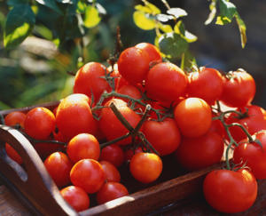 "Photo: Harvesting tomatoes - Rather than pick tomatoes individually, cut them off the plant in ""bunches"" so that they remain attached to a length of the vine as they ripen."