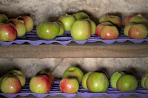 Photo: Late-cropping apples and pears - Pick fruits before the first frosts and store only the perfect ones separately on trays so they aren't crowded and have air circulating around them. Each variety ripens at a different pace.