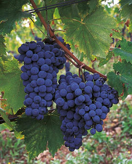Photo: Sangiovese grapes