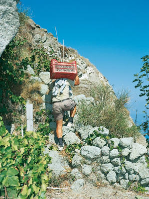 Photo: Grape picker at D'Ambra, Campania