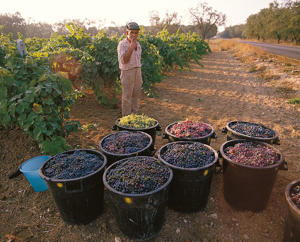Photo: Harvested grapes near Brindisi, Puglia