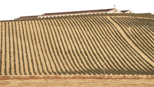 Photo: Vines in albariza soil, Jerez, Andalucía