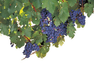 Photo: Merlot grapes
