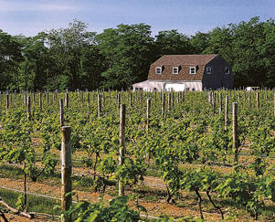 Photo: Merlot and Chardonnay vines on Long Island's North Fork