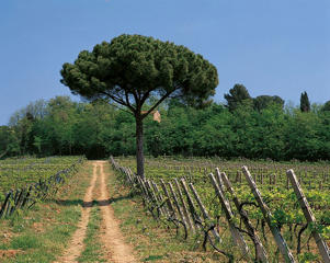 Photo: Lungarotti vineyard, Torgiano