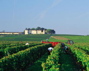 Photo: Harvesting in the vineyard of Château Suduiraut with Château d'Yquem in the distance