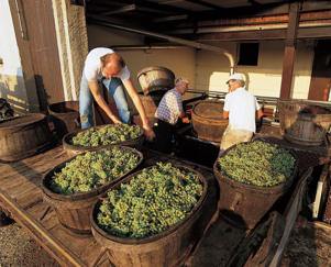 Photo: Chardonnay grapes at Buxy cooperative in Montagny, Côte Chalonnaise