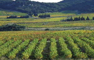 Photo: Vineyards in Tavel