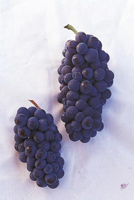 Photo: Pinot Noir grapes