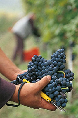 Photo: Harvesting Nebbiolo grapes