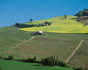 Photo: Verdicchio dei Castelli di Jesi Classico vineyard, Le Marche