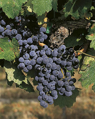 Photo: Blaufränkisch grapes