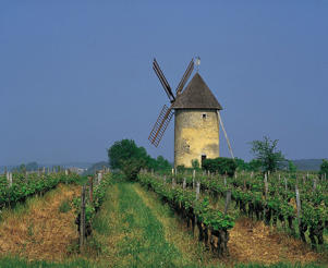 Photo: View of mill seen across rows of vines in Haut-Benauge