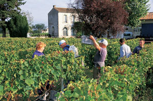 Photo: Harvest time at the world-famous Château Pétrus in Pomerol
