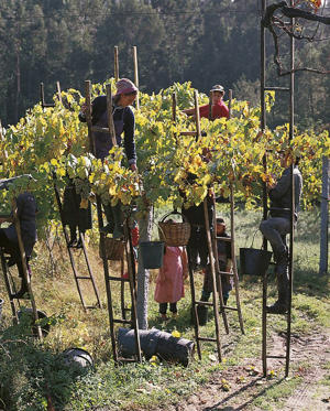 Photo: Picking grapes from vines on arbors in Vinho Verde