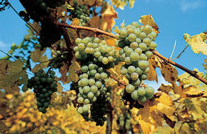 Photo: Grüner Veltliner grapes