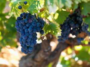 Photo: Grenache grapes