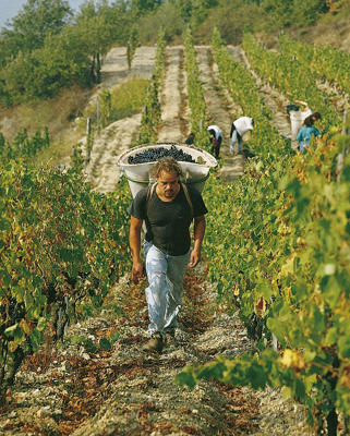 Photo: Carrying Syrah grapes in the Northern Rhône