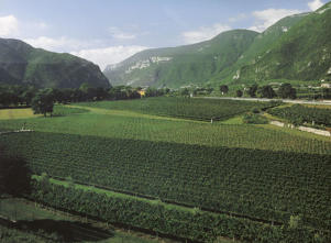 Photo: Lush vineyards of Tenuta San Leonardo in Trentino