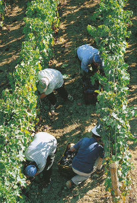 Photo: Grape pickers at Masciarelli, Abruzzo