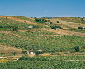 Photo: Vineyards near Menfi, Sicilia