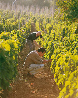 Photo: Tending Aglianico vines, Basilicata