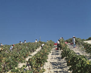 Photo: Harvesting grapes, Andalucía