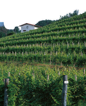 Photo: Terraced vineyard in Colli Orientali del Friuli