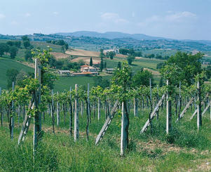 Photo: Vineyards around Montefalco, Umbria