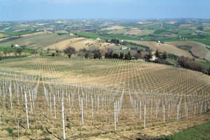 Photo: Garofoli Gioacchino vineyards