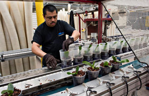 An employee puts collars on transplanted orchid plants at the Color Point wholes...
