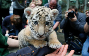 Five week old Amur tiger cub 'Alisha' is presented to the media for the first time at the Tierpark Friedrichsfelde zoo in Berlin January 22, 2015. REUTERS/Fabrizio Bensch (GERMANY - Tags: ANIMALS)