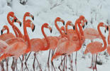 Snow falls on a flock of flamingos standing on a snow-covered field at a wildlife zoo in Hefei, Anhui province, Jan. 29, 2015.