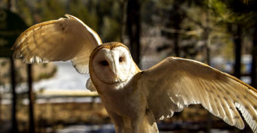 A barn owl with wings extended at the Sunriver Nature Center in central Oregon.