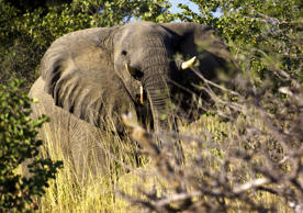 An elephant moves through the brush of the grasslands of Zakouma National Park in Chad.