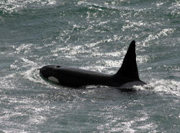 Killer whale washes up on Irish beach