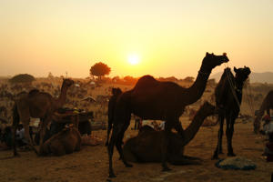 The Pushkar Camel Fair is an annual event held in November in the small town of Pushkar in Rajasthan, India. The festival attracts hundreds of thousands of people,who come to see the thousands of camels and their traders and enjoy the various events held during the week long festivities.