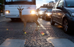 A deer crosses the road on Champs-Élysées.