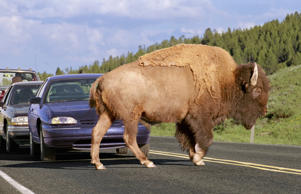 A bison causes a traffic jam as it crosses the road in Yellowstone National Park.