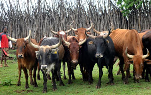 Lobola (bridal price) cattle at a wedding in Swaziland, October 19, 2013.