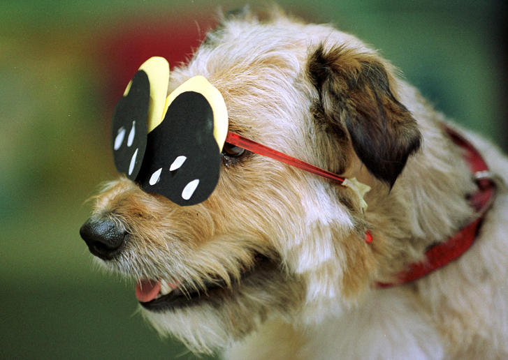 Dolly, a terrier, wears special protective glasses for a solar eclipse