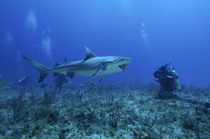 Bull Shark and divers at Bahamas.