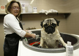 Westminster entrant Nugget gets a bath from owner Virginia Flatley, left, in the doggie spa at the Hotel Pennsylvania in New York.