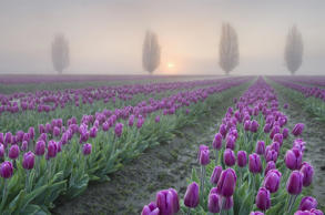 Sunrise over the Skagit Valley tulip fields.