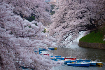 Boats are seen under blooming cherry blossom trees at Chidorigafuchi on March 31, 2015 in Tokyo, Japan. The Cherry blossom season begins in Okinawa in January and moves north through Feburary peaking in Kyoto and Tokyo at the end of March and lasting just over a week.