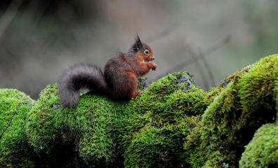 A Red Squirrel on a stone wall in Kielder Forest, Northumberland