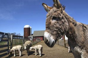 Bonnie the guardian donkey keeps an eye on her flock of sheep in their University of Rhode Island pen Tuesday, April 20, 2004, in South Kingston, R.I. Bonnie was bought and integrated into the flock of sheep to protect them from coyotes and dogs.