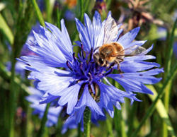VITIS, AUSTRIA: A honey bee is pictured as it sits on a cornflower (Centaurea cyanus) near the little village of Vitis, in the most northern province Upper Austria on 19 June 2007. AFP PHOTO / DIETER NAGL (Photo credit should read DIETER NAGL/AFP/Getty Images)