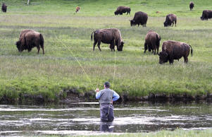 A fly fisherman seemingly is fishing for bison along the Firehole River at Yellowstone National Park in Wyoming.