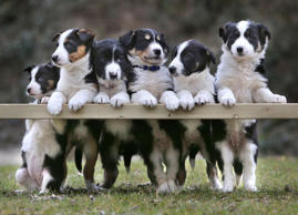 The six border collie puppies pose for a family photo They say you should never work with children or animals so spare a thought for photographer Richard Austin who had to corral this posse of puppies for a family photo. The border collies were all born at the Big Sheep farm in Bideford, north Devon and are currently searching for new homes. And to ensure the best chance of puppy love blooming the decision was made to take a group shot of the adorable pups. However, this proved to be easier said than done. Staff were on hand to help set up the shot, which required the easily distracted dogs to pose with their paws on a low fence. However, it was a race against time to get all six lined up before any wandered off or found something more interesting to do. And while some pups proved to be the perfect models, others looked more than a little disgruntled to be left waiting around. But after 15 minutes of frantic activity Richard finally managed to get a shot featuring all six youngsters (almost) perfectly behaved.